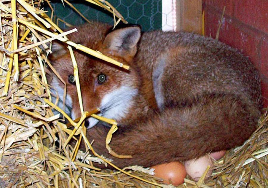 «Соседка выходит на крыльцо, а лиса сидит во дворе». Дикие ...