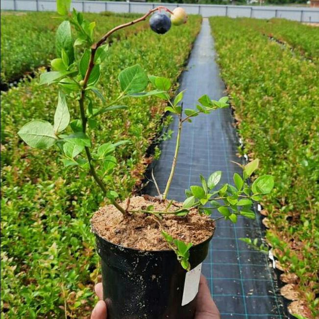 Алексей Островский рассказал о реализации инвестпроекта по выращиванию голубики в Рославльском районе